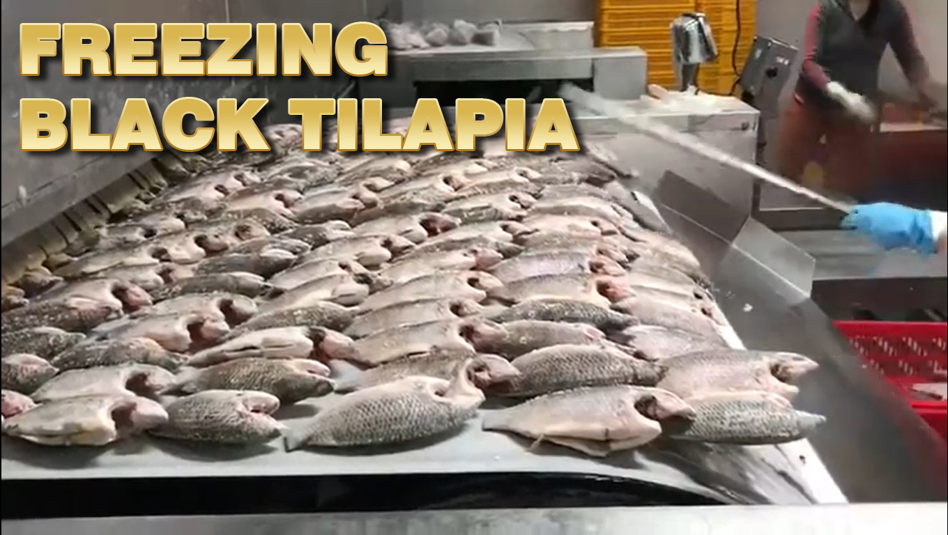 freezing_black_tilapia